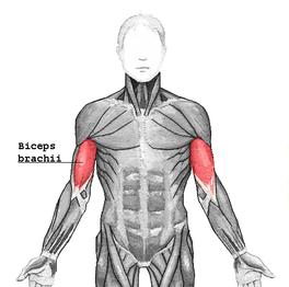 dit zijn de biceps